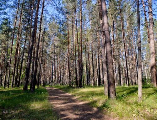 Экскурсии по Бору: тайны и загадки соснового леса