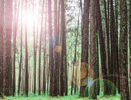 Цветение сосны: особенности и польза для организма